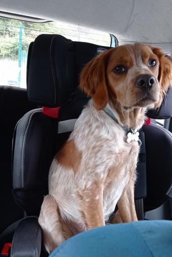 Ventimiglia: scomparso da ieri mattina un cane Breton dal nome Jack, l'appello della proprietaria