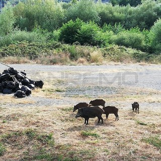 Fauna selvatica: dai centri delle città alle campagne il numero dei cinghiali è fuori controllo