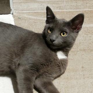 Ventimiglia: smarrito gatto certosino in località due camini San Bernardo, l'appello della proprietaria