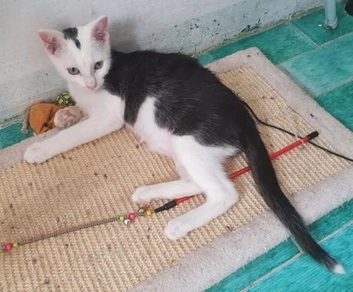 Taggia: il bellissimo gattino Doraimon aspetta di essere adottato