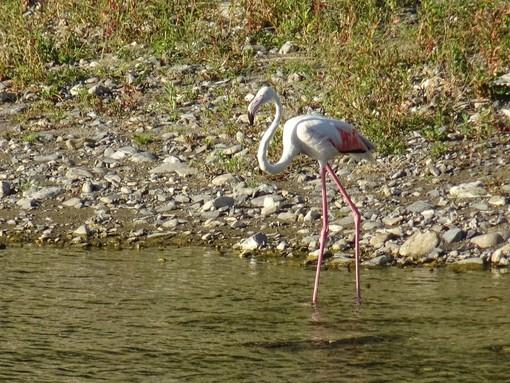 Straordinario avvistamento: un fenicottero rosa nel torrente Impero (foto)
