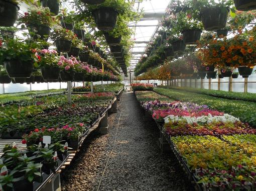 Floricoltura: in manovra due misure per salvaguardia e valorizzazione del verde 100% 'Made in Liguria'