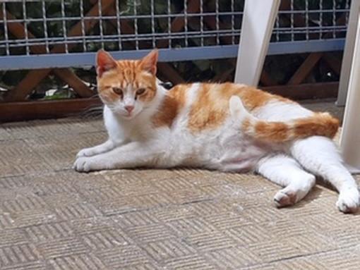 Sanremo: un bel gattone bianco e rosso ha bisogno con urgenza di una nuova famiglia