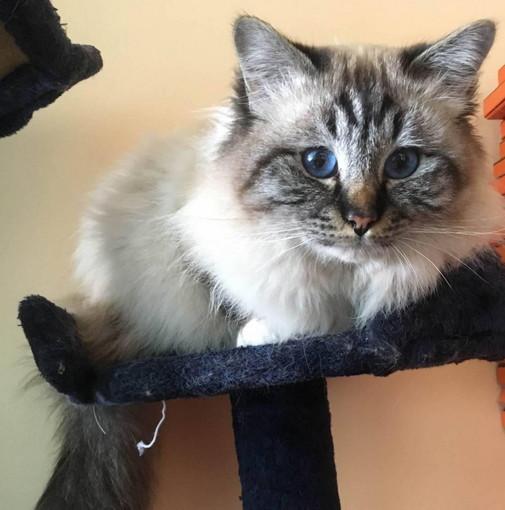 Vallecrosia: è stato smarrito un gatto, l'appello dei suoi proprietari