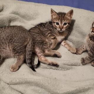Sanremo: i tre gattini tigrati sono stati adottati, i ringraziamenti di Francesca