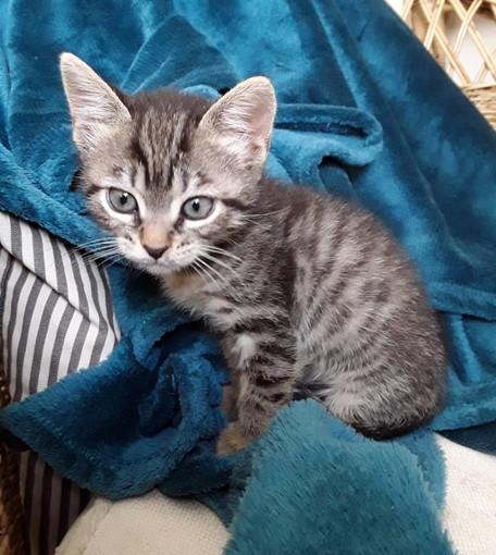 Sanremo: una gattina di due mesi è in cerca di una famiglia