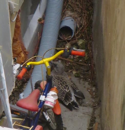 Sanremo: piccolo gabbiano caduto in un cortile, una lettrice auspica intervento per riportarlo nel nido