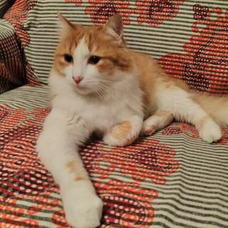 Ospedaletti: zona Giunchetto è stato trovato un gatto, si cercano i suoi proprietari