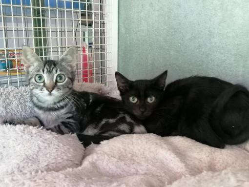 Ventimiglia: due gattine di due mesi e mezzo aspettano di avere una famiglia