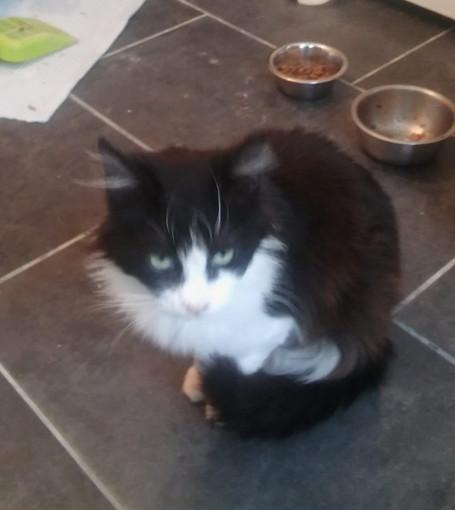 Sanremo: una dolce gattina bianca e nera cerca una nuova famiglia
