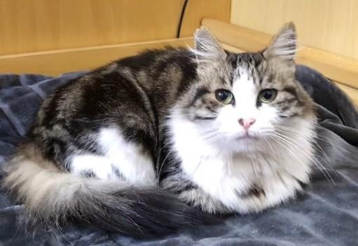 Taggia: la gatta Perla è scomparsa da via Soleri, la sua padrona è preoccupata e la sta cercando