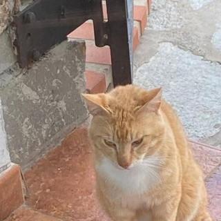 Imperia: smarrito questa mattina ad Oneglia il gatto Simba, l'appello dei proprietari (foto)