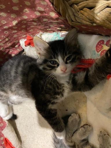 Sanremo: un bellissimo gattino di 55 giorni cerca casetta