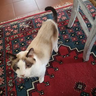 Sanremo: domenica scorsa, smarrito gatto in zona san Pietro, l'appello del proprietaio