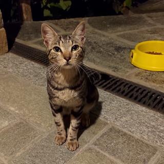 Sanremo: è stato trovato in zona Gozo Inferiore un gatto tigrato, si cercano i suoi proprietari