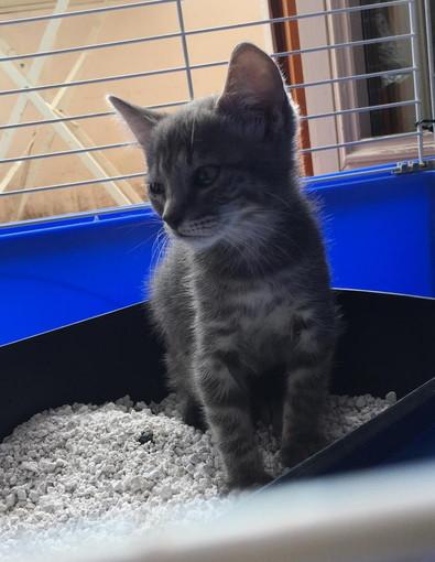 Sanremo: una gattina di tre mesi cerca una nuova famiglia