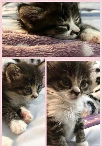 Badalucco: Cosma gattina di 45 giorni aspetta di essere adottata