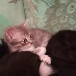 Sanremo: una bellissima gattina è in cerca di una famiglia