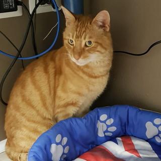 Sanremo: il coccolone 'gatto Ti' aspetta di essere adottato, ha un anno e mezzo ed è affettuoso