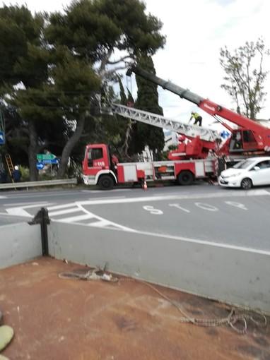 Sanremo: per tutela pubblica incolumità sarà abbattuto un esemplare di Pinus halepensis sulla via Aurelia