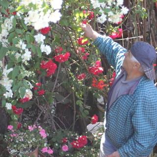 Ventimiglia: il 'giardino delle rose 'sul greto del Roja non c'è più, Franco e Maria Grazia lo ricordano con alcune immagini