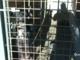Combattimenti tra cani in provincia: il Tg di Italia 1 Studio Aperto mostra le immagini dell'inchiesta del 2016 (Foto)