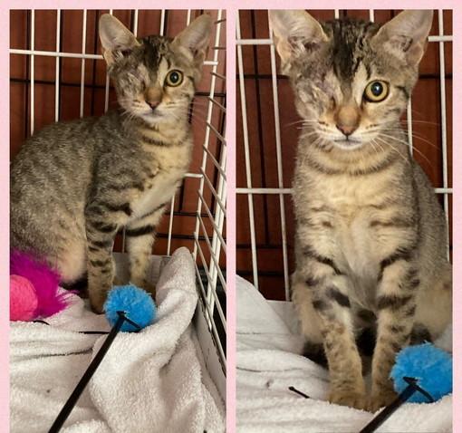 Arma di Taggia: la gattina Licia cerca una nuova famiglia