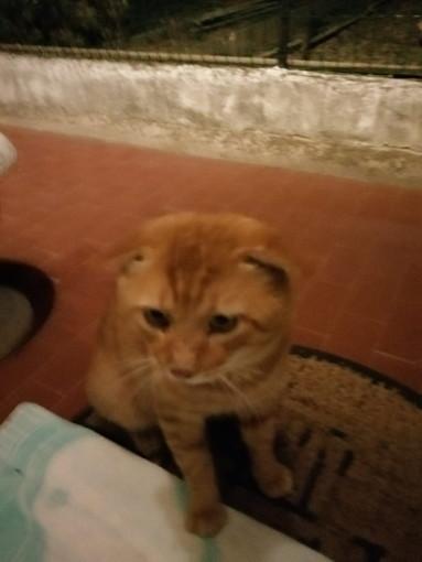 Arma di Taggia: è stato trovato un gatto rosso, si cercano i suoi proprietari