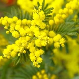 """Festa della Donna, Coldiretti: """"La mimosa made in Liguria grande protagonista dell'8 marzo"""""""