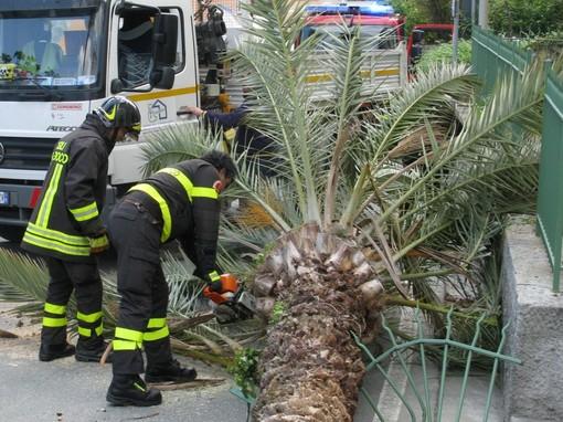 Palma cade su auto in via Vittorio Veneto a Ventimiglia: era infestata dal punteruolo rosso