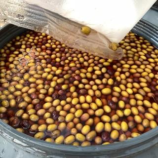 Dolceacqua, incoraggianti i risultati del progetto sulla trasformazione degli standard dell'oliva taggiasca (foto)