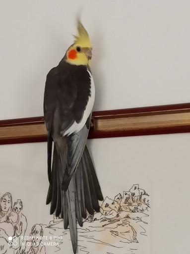 Sanremo: smarrito pappagallo calopsite di nome Saetta, l'appello dei proprietari