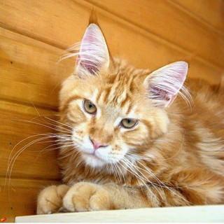 Sanremo: è stato smarrito in via Martiri il gatto Salem, l'appello della proprietaria