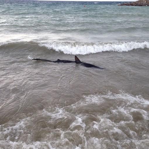 """San Lorenzo al Mare: squalo avvistato sulla spiaggia, lettore """"Dovrebbe essere il 'pesce volpe'"""""""