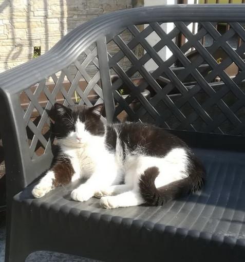Arma di Taggia: è stato smarrito il gatto Silvestro, si cercano notizie