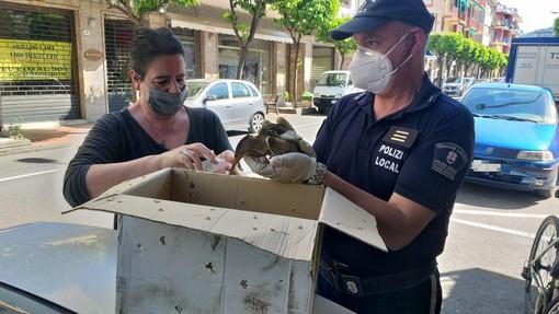 Diano Marina: uccello acquatico trovato in pieno centro, catturato e consegnato alla Lipu