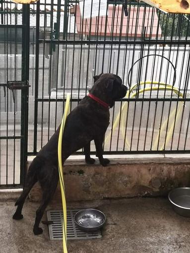 Enpa di Sanremo: il cagnolone Tobia aspetta di avere una famiglia