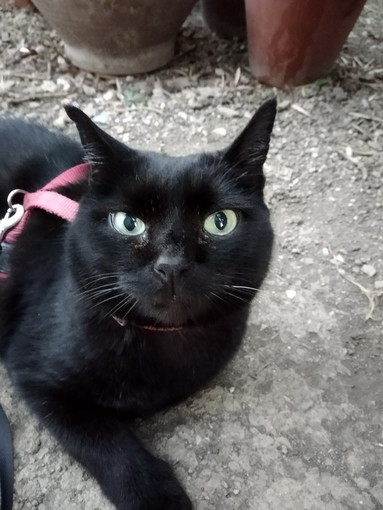 Sanremo: è stata smarrita la gatta Trudi, la sua famiglia cerca notizie