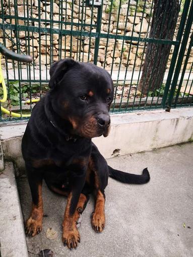 Enpa di Sanremo: il cucciolone Tyson aspetta anche lui una famiglia