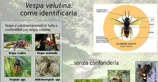 Golfo Dianese: è allarme vespa velutina, scende in campo anche la Protezione Civile di Cervo